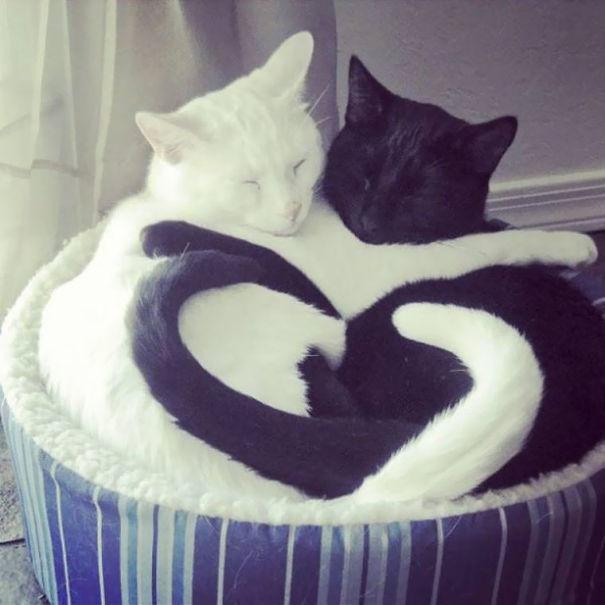 Кошки Инь-Ян: черные и белые коты (18 фото)